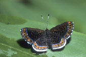 Orange-stitched Metalmark