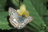 Orcus Checkered-Skipper